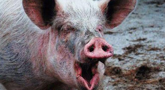 У Молодії виявили африканську чуму свиней