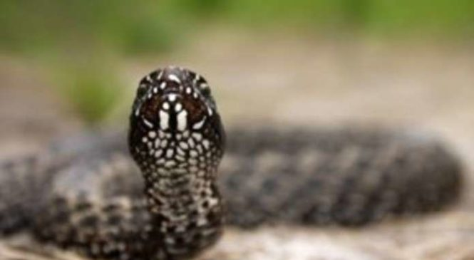 У селі Кам'янка Глибоцького району місцевого мешканця за ногу вкусила змія