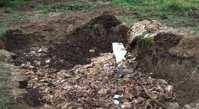 Бунт на Буковині. Сотні могильників курей знайшли мешканці у Валя Кузьмині
